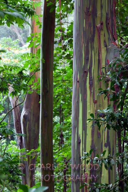 charles wood photography hawaii rainbow eucalyptus tree